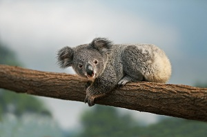 Koala - © Gerard Lacz for ZooParc de Beauval
