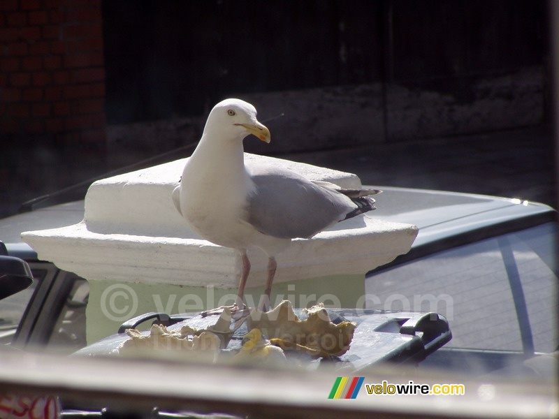 A sea-gull on the dustbin